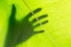 Hand shadow on green banana leaf texture background Royalty Free Stock Photos