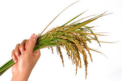 Hand and a sheaf of rice Stock Images