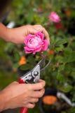 Hand shears prune roses Royalty Free Stock Image
