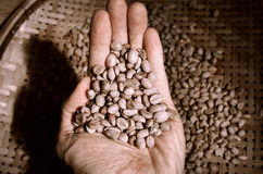 Hand showing raw coffee beans from the basket. Worker Hand showing raw coffee beans from the basket (raw, coffee beans Royalty Free Stock Photos