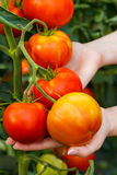 Hand showing ripe tomato cluster Royalty Free Stock Image