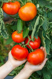 Hand showing ripe tomato cluster Royalty Free Stock Photos