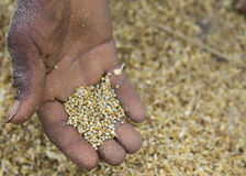 Hand shows the threshed millet grain kernels. Stock Image