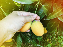 Hand and single mango plum under tree garden view Royalty Free Stock Photos