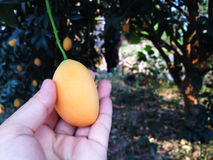Hand and single mango plum under tree garden view Stock Photography