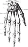 Hand skeleton Royalty Free Stock Images