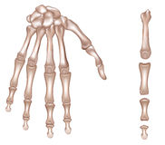 Hand skeleton. Bones of the right hand. Phalanges of the third finger of the right hand. Detailed medical illustration. Isolated on a white background. Realistic Stock Photography