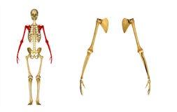 Hand (skelett): Humerus-, armbågeskarv, radie och armbågsben stock illustrationer