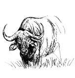 Hand sketch African buffalo Stock Photo
