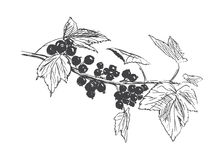 Hand sketch blackcurrant Stock Photography