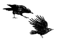 Hand sketch of crows Royalty Free Stock Image