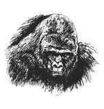 Hand sketch gorilla head Royalty Free Stock Images