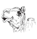 Hand sketch of the head of a camel Royalty Free Stock Images