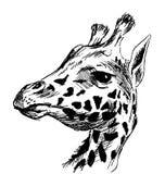 Hand sketch head giraffe Royalty Free Stock Photo
