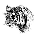 Hand sketch of the head of the tiger Royalty Free Stock Image