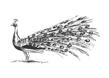 Hand sketch peacock Royalty Free Stock Image