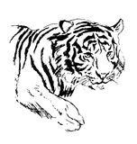 Hand sketch tiger Royalty Free Stock Image