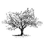 Hand sketch tree. Flowering cherry Stock Images