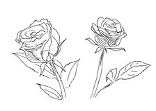 Hand sketch of two roses Stock Photo