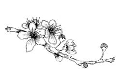 Hand-sketched cherry branch with flowers Stock Images