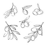 Hand sketched olives. Set of vector hand-sketched olives and olive branches Stock Photos