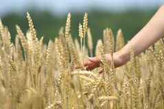 Hand slide threw the golden wheat field Stock Photo
