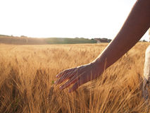 Hand slide threw the wheat field Royalty Free Stock Photo