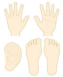 Hand, the sole of a foot, ear. Hand, the sole of a foot and ear. Vector illustration Stock Image