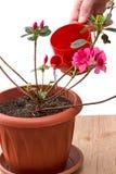 Hand som bevattnar plantarhododendron Arkivbilder