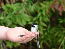 Hand som matar den svarta korkade chickadeen arkivbilder
