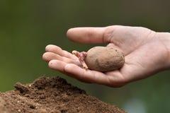 Hand som planterar potatisen med groddar Arkivbild