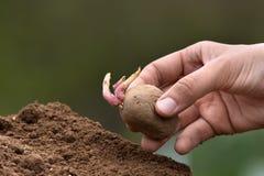 Hand som planterar spira potatisen Royaltyfri Foto
