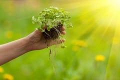 Hand som planterar växten Royaltyfri Bild