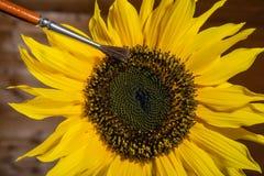 Hand som pollinerar en solros med en borste Arkivfoton