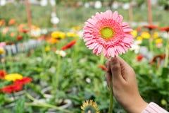 Hand som rymmer den härliga blomman Arkivbilder