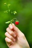 hand som rymmer den mogna jordgubben wild Royaltyfria Bilder