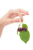 Hand som rymmer den svarta körsbäret med laeves Bakgrund Fotografering för Bildbyråer