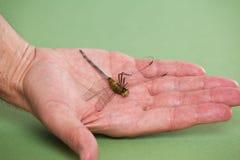 Hand som rymmer en död drakefluga Royaltyfri Bild