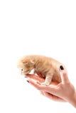 Hand som rymmer en katt Fotografering för Bildbyråer
