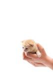 Hand som rymmer en katt Arkivbild