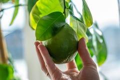 Hand som rymmer grön mogen rå limefrukt med sidor på en closeup för trädfilial Begrepp av att växa ny citrusfrukt royaltyfri fotografi
