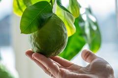 Hand som rymmer grön mogen rå limefrukt med sidor på en closeup för trädfilial Begrepp av att växa ny citrusfrukt arkivfoto