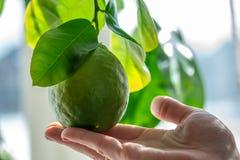Hand som rymmer grön mogen rå limefrukt med sidor på en closeup för trädfilial Begrepp av att växa ny citrusfrukt royaltyfria foton