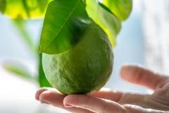 Hand som rymmer grön rå limefrukt med sidor på en closeup för trädfilial Begrepp av att växa ny citrusfrukt arkivbild