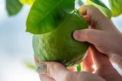 Hand som rymmer grön rå limefrukt med sidor på en closeup för trädfilial Begrepp av att växa ny citrusfrukt royaltyfria bilder