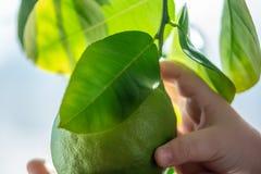 Hand som rymmer grön rå limefrukt med sidor på en closeup för trädfilial Begrepp av att växa ny citrusfrukt royaltyfri foto