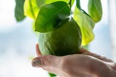 Hand som rymmer grön rå limefrukt med sidor på en closeup för trädfilial Begrepp av att växa ny citrusfrukt arkivfoto