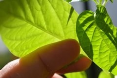 Hand som trycker på en chiliväxt Arkivbilder