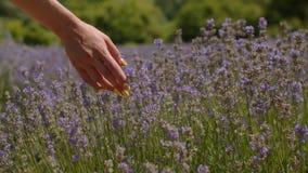 Hand som trycker på purpurfärgade blommor i lavendelfält lager videofilmer