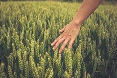 Hand som trycker på skördar i fält Arkivbild